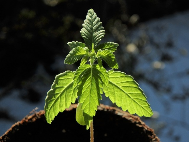 konoplja rastlina rast