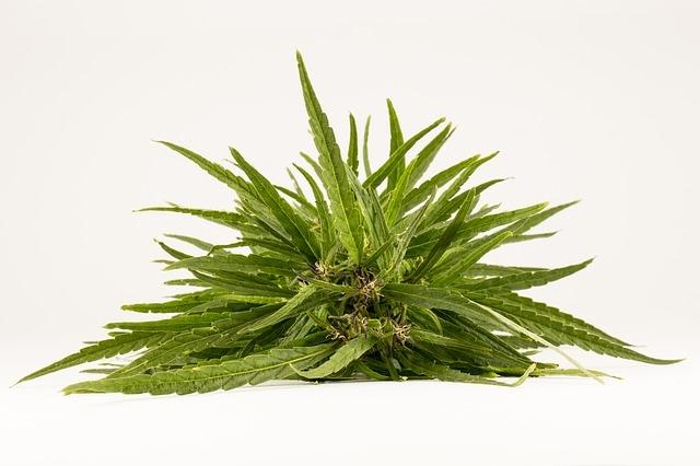 konoplja rastlina