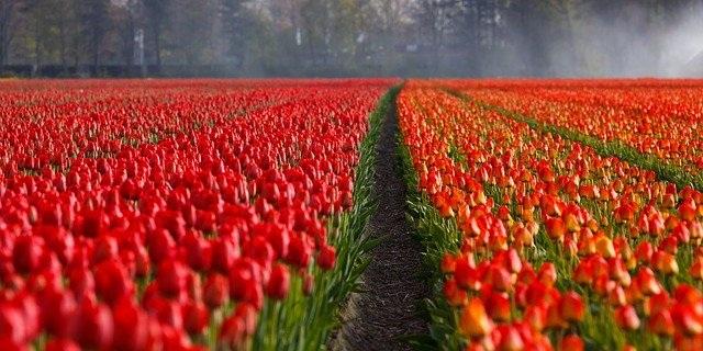 nizozemska tulipani