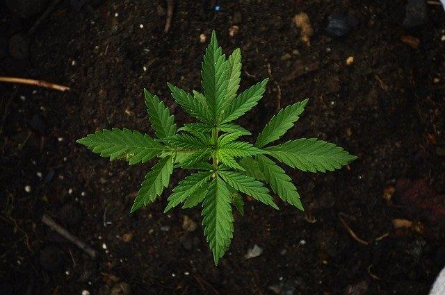 konoplja zdravljenje s konopljo rastlina