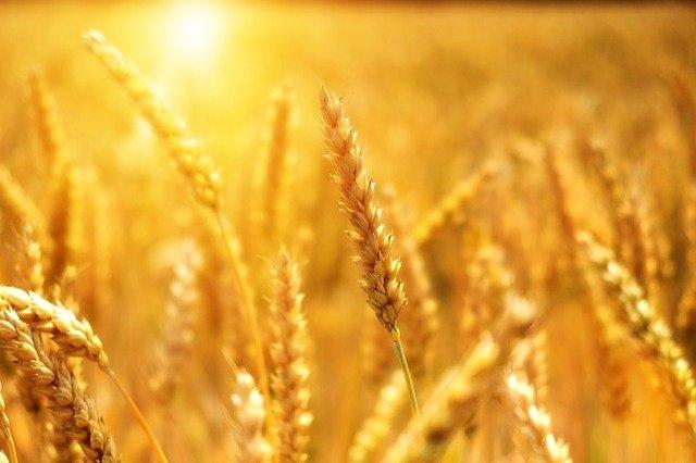 brezglutenska hrana pšenica