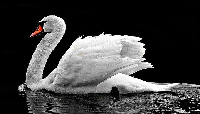 krnsko jezero labod