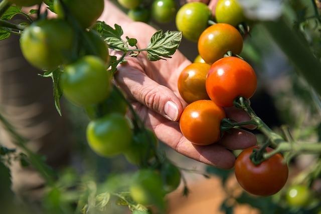 sajenje paradižnika rastlina